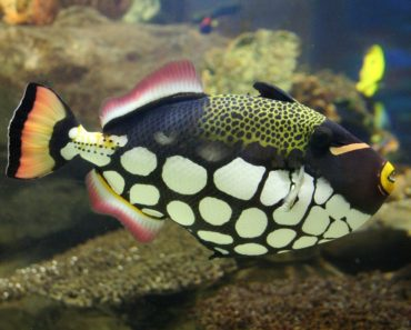 Triggerfish of Koh Tao, Bobbys' close encounters with them!